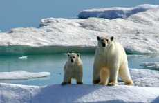 Polar Bear Protection Fails