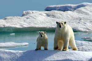 International Trophy Hunting of Polar Bears Not Banned