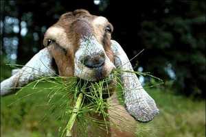 Goats and Sheep Provide Natural Vegetation Management