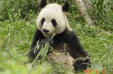 Panda Poop Presents