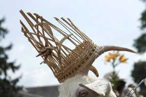 Goat Beauty Contest in Lithuania Marks 640th Anniversary of Ramygala