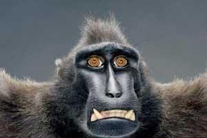 The Jill Greenberg 'Monkey Portraits' Series