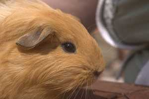 Guinea Pig Poo Can Sustain a Small Community