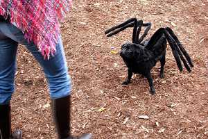 Gus Shows off His Handmade Pug-Spider Halloween Costume
