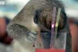 Vervet Monkeys Steal Drinks, Reveal Clues About Human Drinking Habits