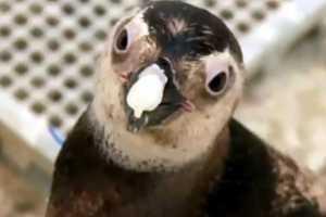 Propeller-Injured Penguin Gets a Prosthetic Beak in Brazil