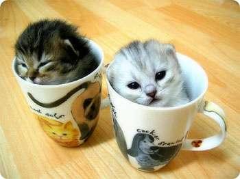 Mini Kitties