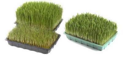 Sustainably Sweet Wheatgrass