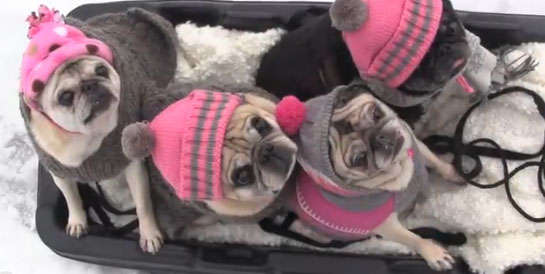 Winter Wonderland Pug Parties
