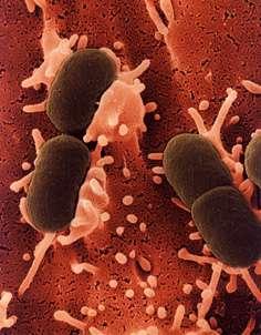 Bacteria Biofuel