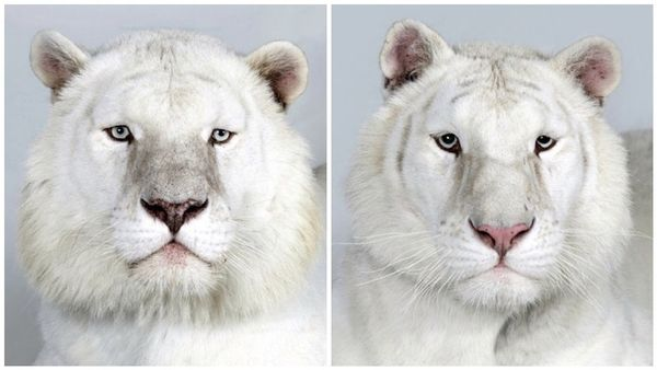 Majestic Jungle Cat Portraits