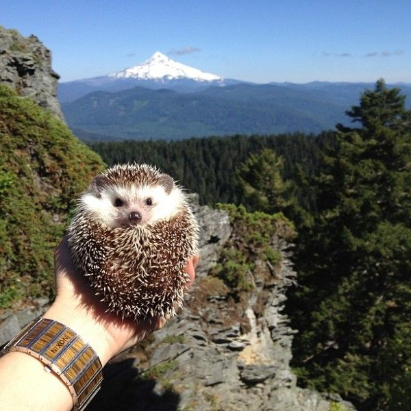 Adventurous Hedgehog Photography