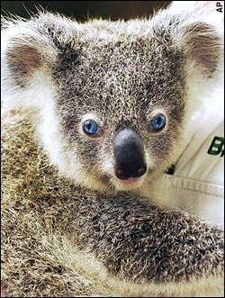 Blue Eyed Koala