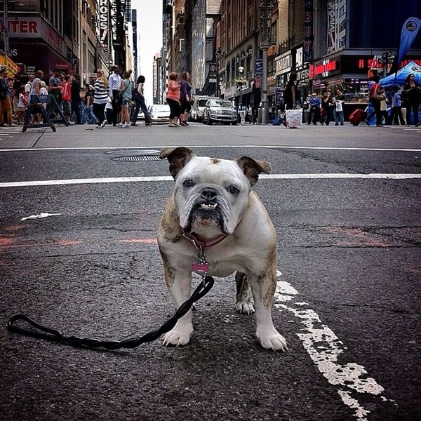 New York Canine Photography Bulldog Photos