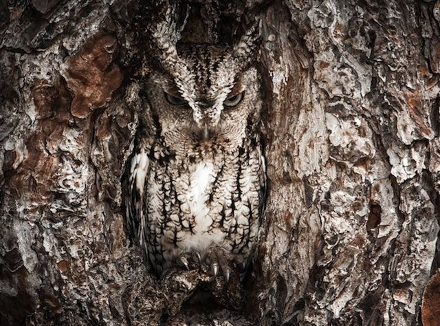 Camouflaged Owl Photography