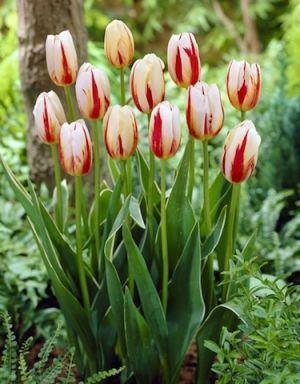 Flag-Inspired Tulips