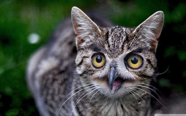 Cats With Owl Faces