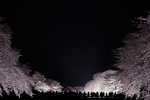 Luminous Cherry Blossom Photos