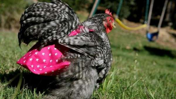 Diapers for Chickens