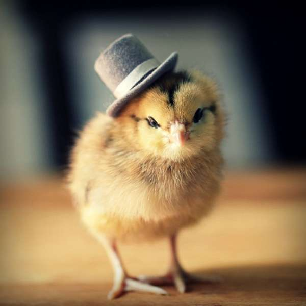 Fashionable Fowl Photography