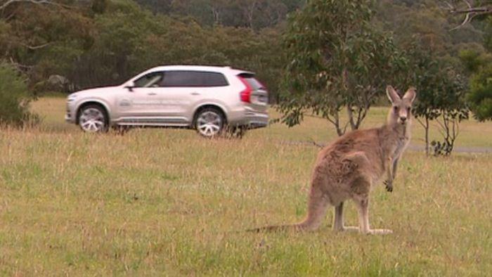 Kangaroo-Evading Cars