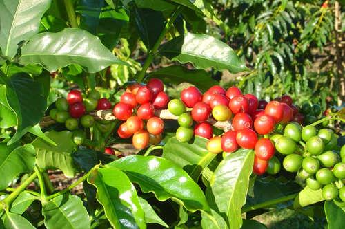 Caffeine-Hybrid Drinks