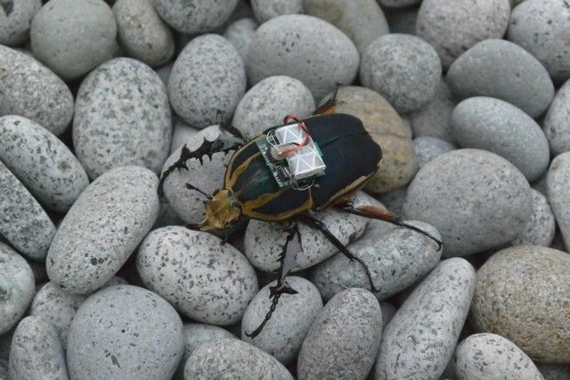 Remote-Controlled Beetles