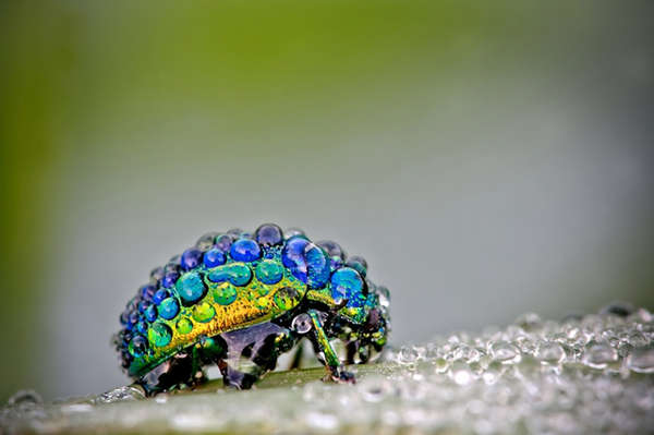 Dew-Covered Insect Photography