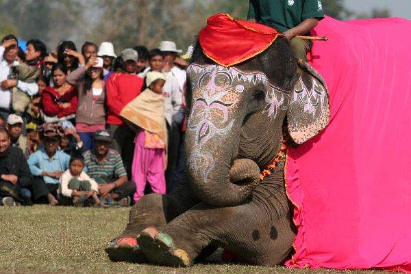 Elephant Beauty Contests