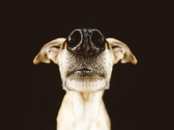 Nose-Focused Canine Portraits