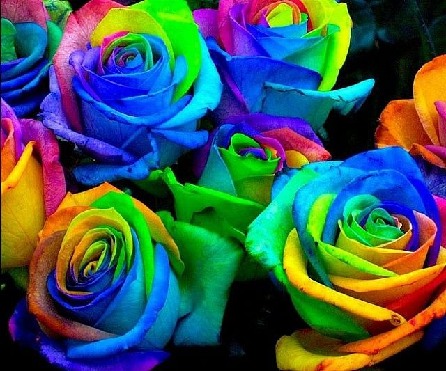 rainbow rose seeds gardening seed