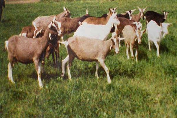 Working Class Goats