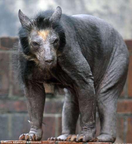 Bald Bears