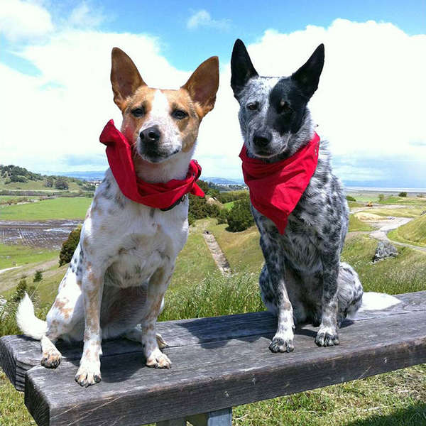 Bug-Repelling Canine Bandanas