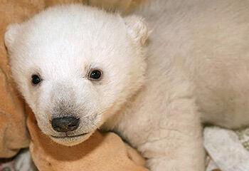 Celebrity Polar Bear