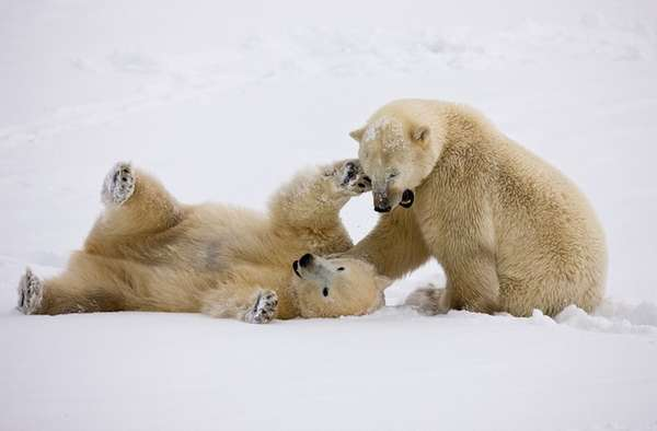 Cuddly Polar Bear Shoots