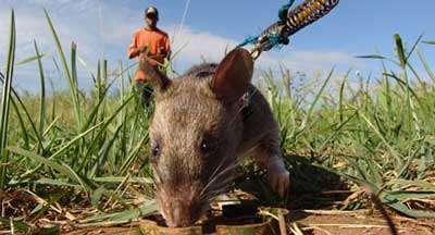 Mine Detecting Rats