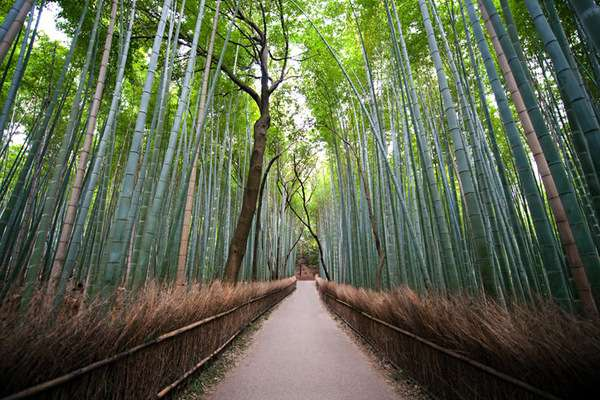 Bamboo Forest Photography
