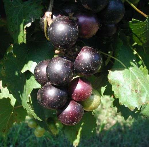 Disease-Resistant Grapes