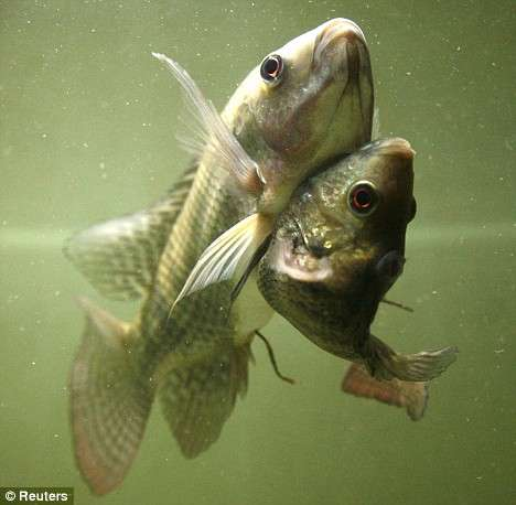 Siamese twin fish conjoined nile tilapia for Is tilapia fish good for you
