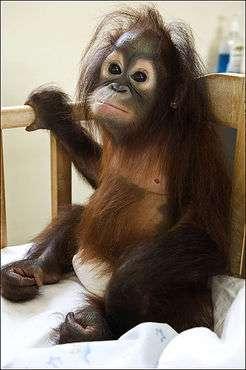 Orangutan Intensive Care Units