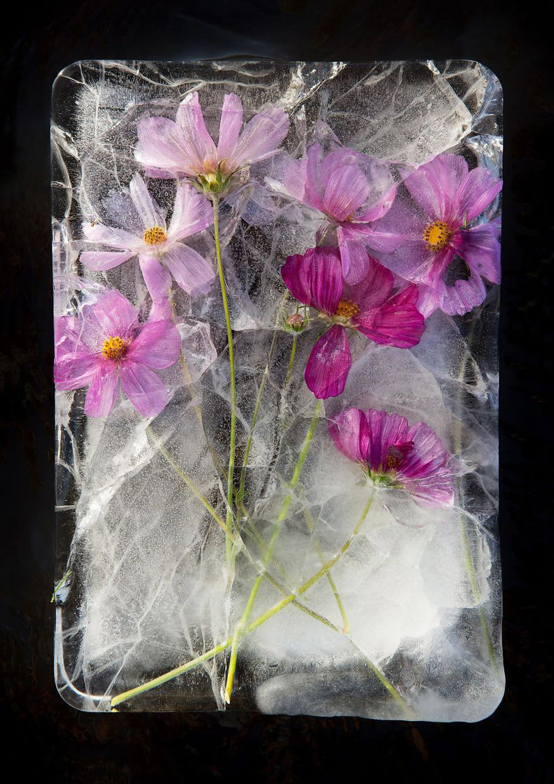 Ice-Encased Flower Photography