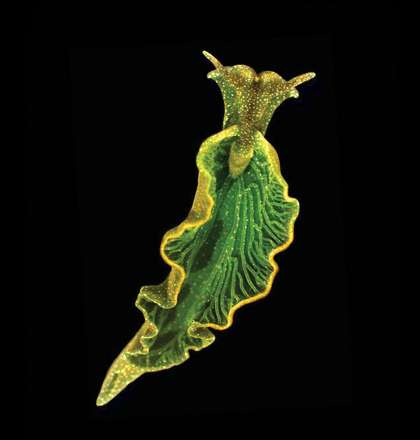Solar-Powered Sea Slugs