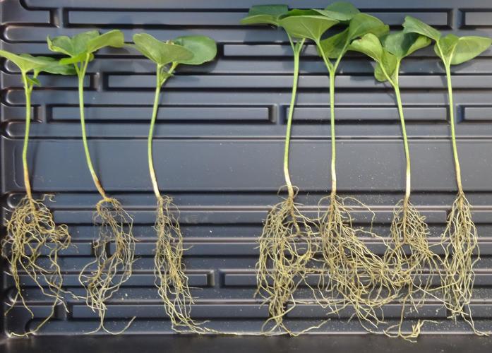 Plant-Specific Probiotics