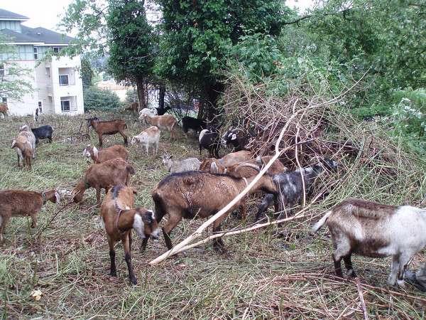 Freelance Goats