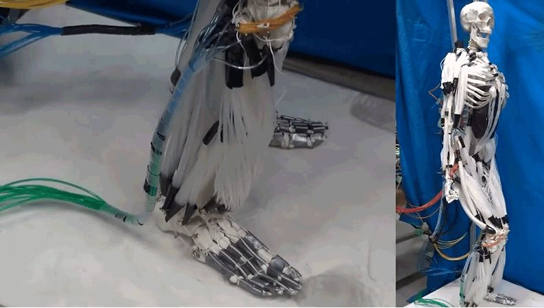 Biologically Accurate Artificial Muscles Robotic Muscles