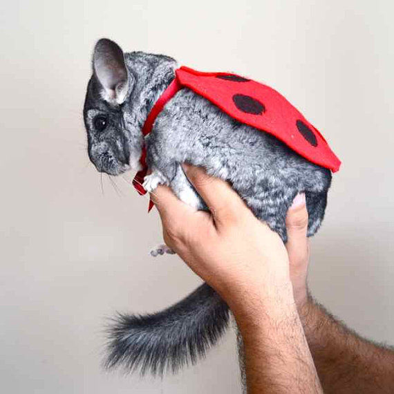 Adorable Chinchilla Apparel