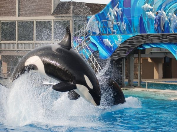 Unstaged Orca Shows