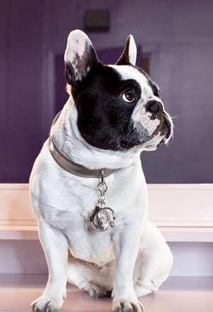 Bulldogs as Jewelry Models