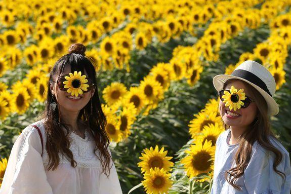 Sunflower Festival Photography